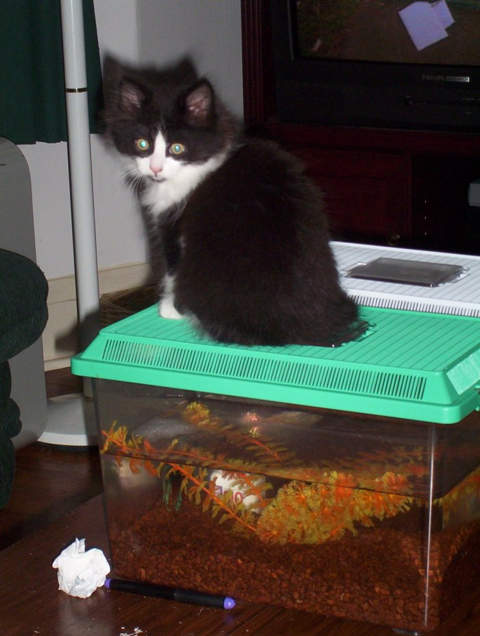 The Piss as a kitten, on top of the fishtank.  Where else?